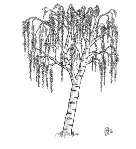 tree_silver_warty_birch-1_medium