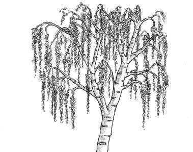tree_silver_warty_birch-1_thmb